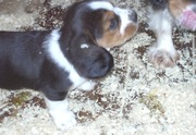 Certified Basset Hound puppies available for sale