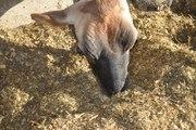 GURUKUL Brand cattle feed (cows)