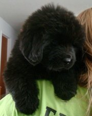 NEW FOUNDLAND PUPPIES FOR  SALE AT (9830064171)