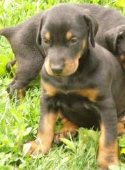Doberman Puppies for sale at Clawsnpawskennel(9830064171)