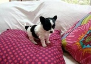 Teacup Size Chihuahua puppies at clawsnpawskennel(9830064171)