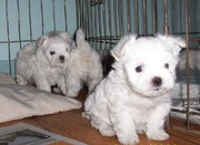 MALTESE PUPPIES FOR SALE AVAILABLE ONLY AT 9830064171