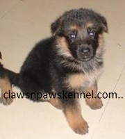 GSD puppies  available FOR SALE AT (9830064171)