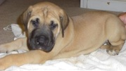 GREAT DANE PUPPIES FOR SALE AT 9830064171