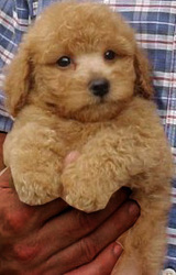 POODLE PUPPIES for sale available at (9830064171)