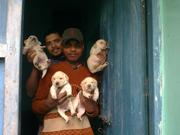 pups available at 9334915667
