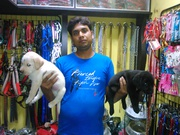 pups of labrador retriever at 7352994017