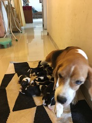 Beagle pups of KCI registered parents