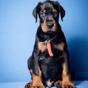Best Puppies Shop in Delhi Ncr - Dav Pet Lovers